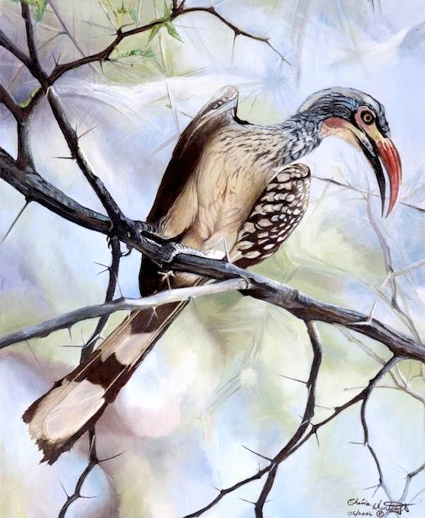 African Red Hornbill